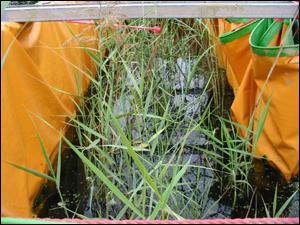 耐鹽份並可應用於人工濕地的水生植物之ㄧ-蘆葦