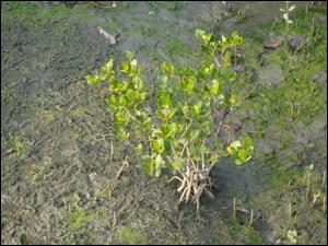 耐鹽份並可應用於人工濕地的水生植物之ㄧ-欖李