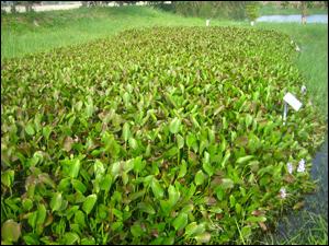 浮水性水生植物-布袋蓮