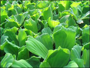 浮水性水生植物-水芙蓉
