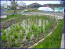 適合處理高鹽度廢水之人工溼地水生植物