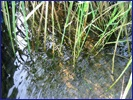 地下水硝酸鹽污染整治的生態技術